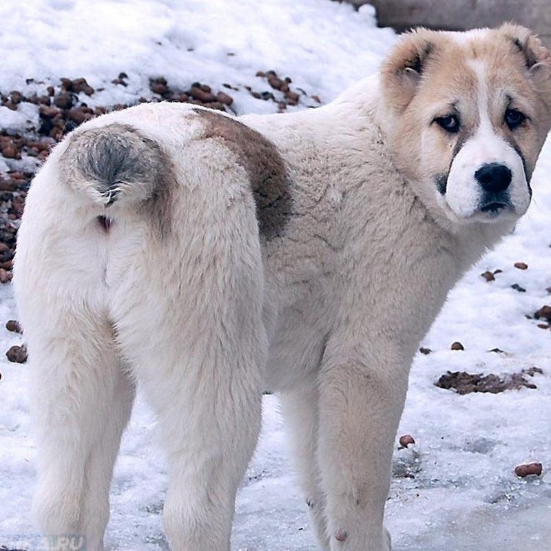геморрой у собаки чем лечить в домашних условиях